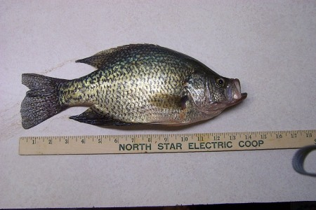 A 14 inch Red Lake crappie March 2004