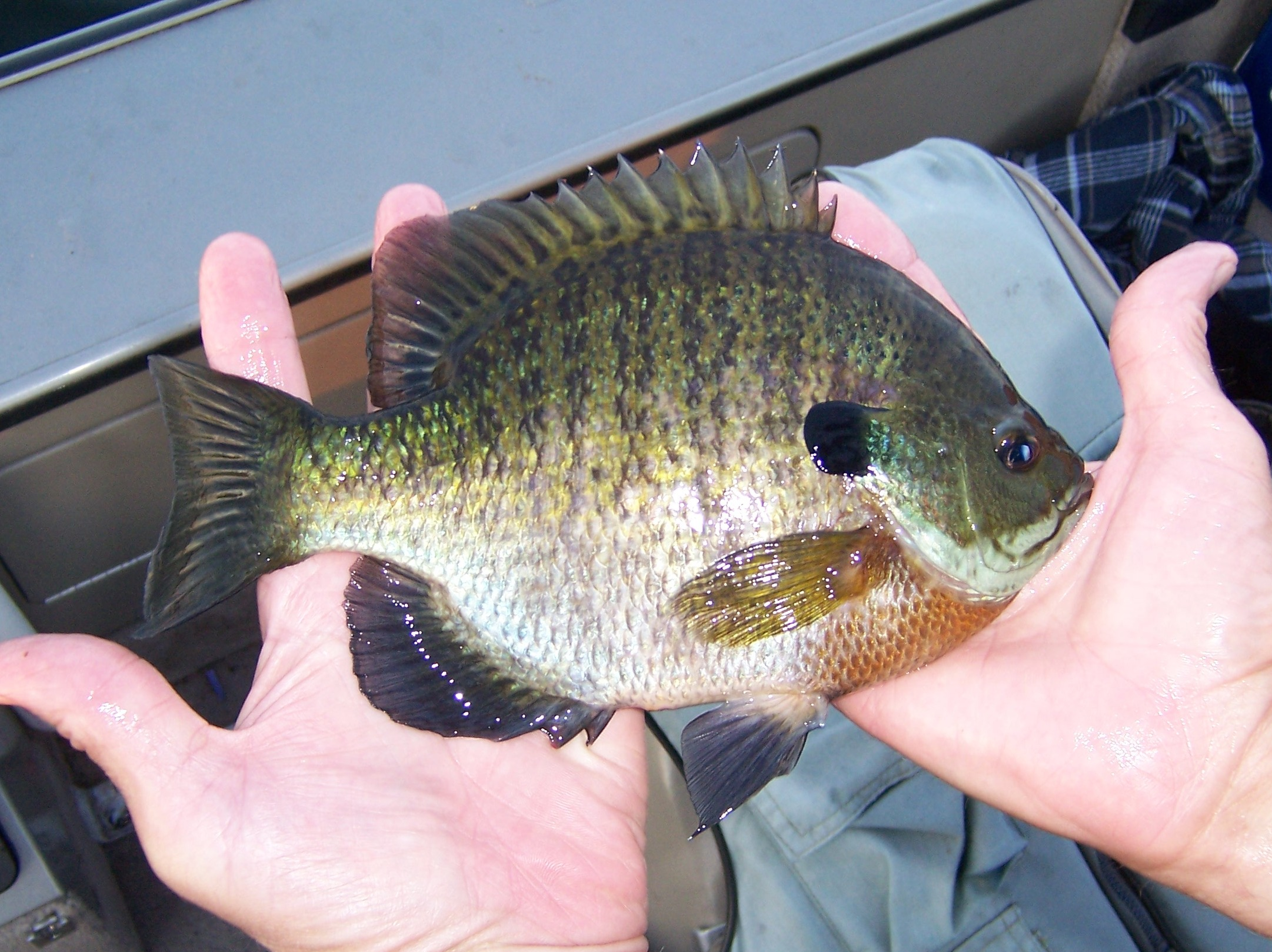 Some larger fish arvid 39 s fishing report for Bluegill fishing bait