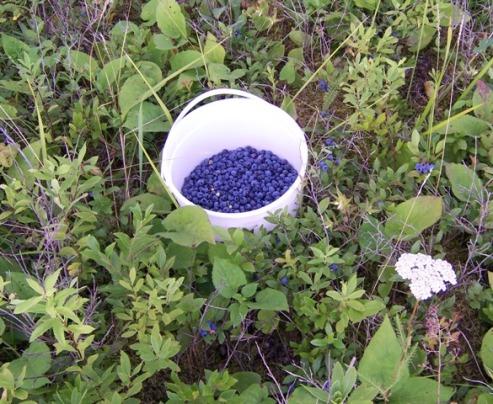 berries-in-the-pail1.jpg