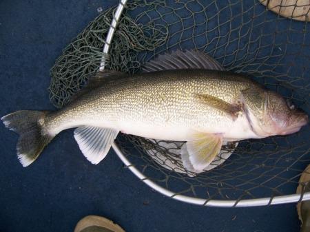 27-inch-walleye1