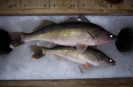 22-and-28-inch-walleyes