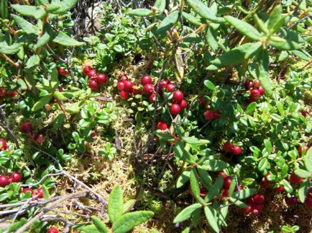 Lingonberries 2