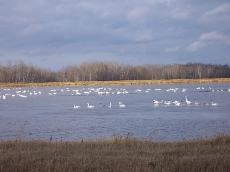 Swans on rice paddy