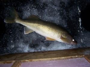 23 inch walleye