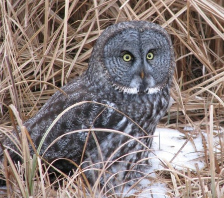 Topper Great Gray Owl
