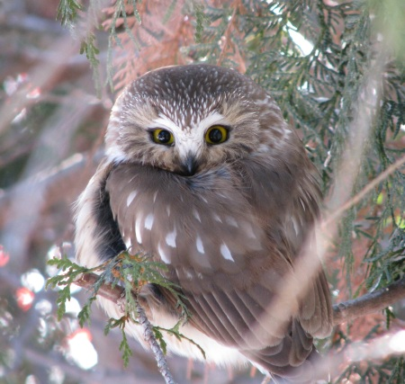 Topper Saw-Whet Owl