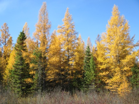 Tamarack-Larch and Black Spruce