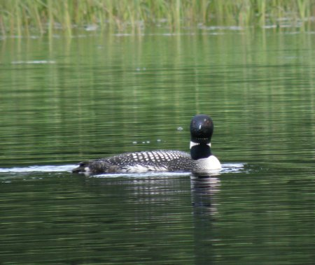 Loon by the house